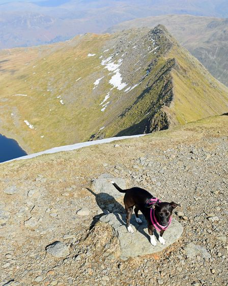 One of today's canine visitors to Helvellyn