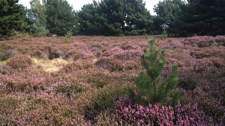 Freshfield Dune Heath Nature Reserve is a sea of purple heather in late summer (Picture: Alan Wright