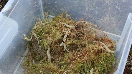 Some of the young sand lizards prior to release at Freshfield Dune Heath (Picture: Alan Wright)