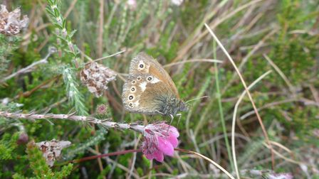 Schoolchildren helped to reintroduce the large heath butterfly (Picture: Reuben Neville)