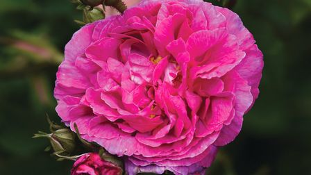 Peter Beales Roses have been part of the Attleborough landscape for 50 years (photo: Angela Sharpe)