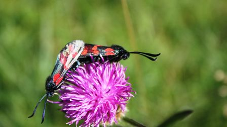 Burnett moths on knapweed