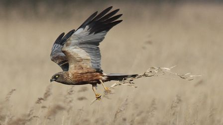 Marsh harriers have risen steadily on the Broads but remain on the amber list for conservation conce