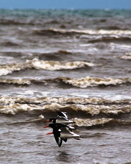 Oystercatchers at Blackpool