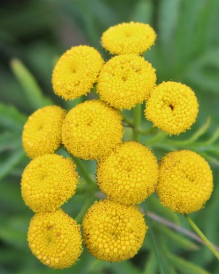 Tansy survived last year's fire on the dunes