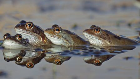 Frogs are one of five amphibians you'll find at Over Kellet Pond