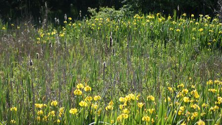 Yellow iris carpets areas of Over Kellet Pond by Alan Wright