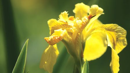 Close up view of yellow iris at Over Kellet Pond by Alan Wright