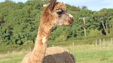 Alpaca wool is known as 'fibre of the gods'