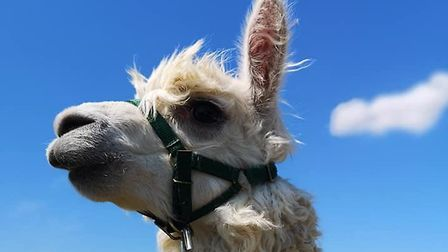 More than 900 people have walked the alpacas