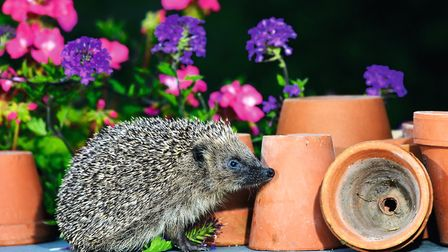 Hedgehogs have poor eyesight, good hearing and sensitive noses