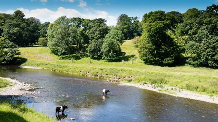 Cows cooling off in the river Kent