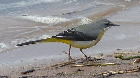 Grey wagtail by a river bank by Carl Partington