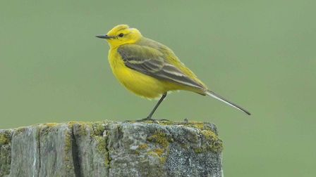Yellow wagtail by Derek Moore