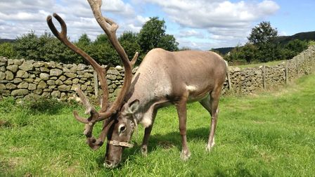 Reindeer are kinder to the land than other species