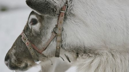 Reindeer are built for cold, harsh conditions