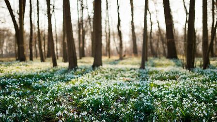 Smatterings of snowdrops decorate the Somerset countryside in springtime (c) VOJTa Herout / Shutters