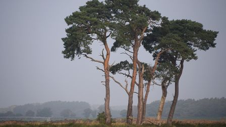 The Breckland landscape and trees near East Wretham (photo: Denise Bradley)