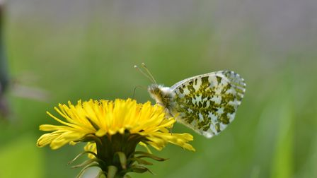 Flitting from flower to flower a female orange tip butterfly by Jonathan Fry