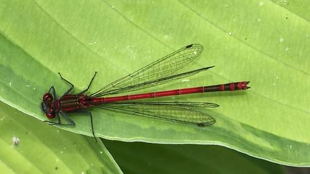 A large red damselfly by Alan Wright