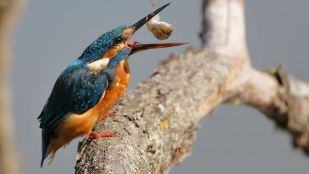 How to spot kingfishers in Suffolk. Wildlife photographer Ryan Dorling explains the best way to see