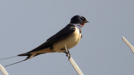 Swallows fly 10,000km to Suffolk to breed each year, building nests in suitable sites such as barns.