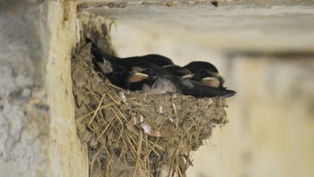 Young swallows, hunkered down in a barn at Woodbridge, await a meal from their parents. Photo: iwitn