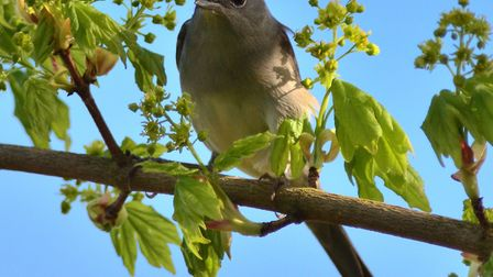 Blackcap (photo: Elizabeth Dack)