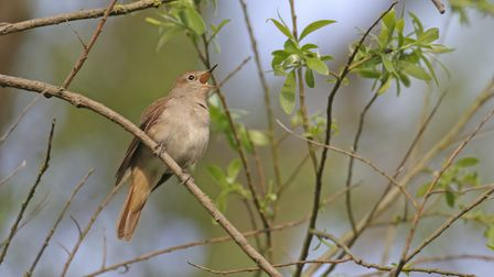 The nightingale, once widespread in Hertfordshire thriving in woodlands with a healthy scrub layer,
