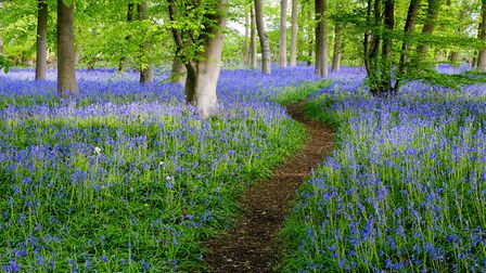 Bluebell Walk at Pods Wood (c) John Bugg, Flickr (CC BY 2.0)