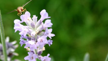 Hoverflies add colour to your garden in summer by Alan Wright