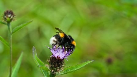 White-tailed bumblebee helping flowers to grow by Alan Wright