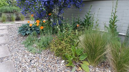 The Icelandic poppy 'Gartenzwerg' (Garden gnome) self seeds happily among wild foxgloves in a gravel