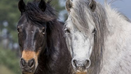 Dartmoor ponies have been introduced to NWT Heathlands at Hockwold and Cranwich to help with the gra