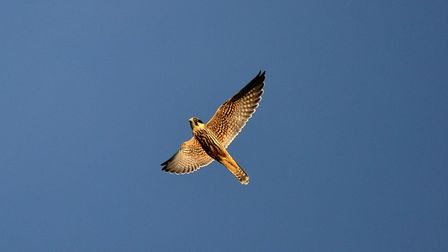 A hobby in the Lancashire sky