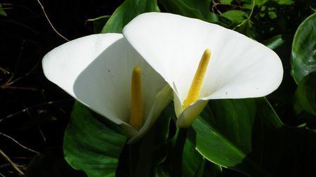 Zantedeschia aethiopica. Photo: Keith Clouting