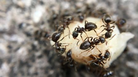 Ants in the garden can be a menace. Photo: Getty Images / iStockphoto