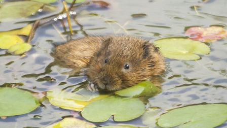 Water Vole photographed in Swindon, England