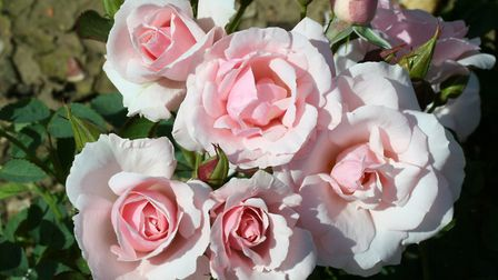 The aptly-named 'Lovely Bride' rose. Photo: Peter Beales Roses