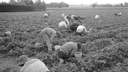 Strawberry picking at dawn in Kings Lynn In June, 1976. Photo: Archant