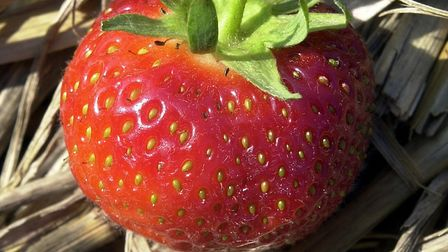 Fat Norfolk strawberry: Photo: Keiron Tovell