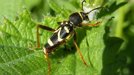 Wasp beetle, credit Neville Yardy