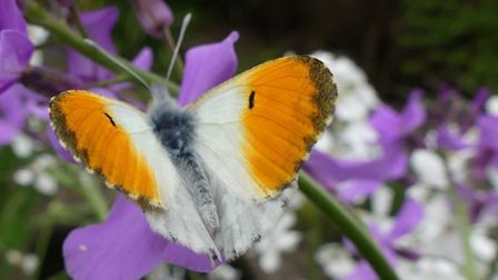 Male orange tip butterfly on flowers in the garden, Caister-on-sea, credit Pat Adams