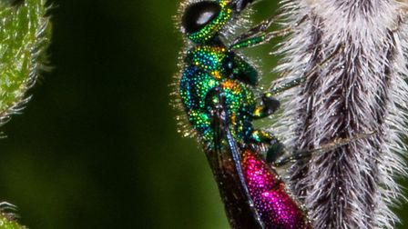Ruby-tailed wasp, credit Trevor Round