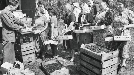 Blackcurrant picking was popular seasonal work in Norfolk. This picture shows a number of pickers wa