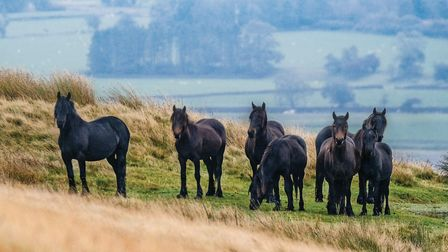 Fell ponies belonging to Bill Potter with thousands of acres of land to graze out on the remote Gree