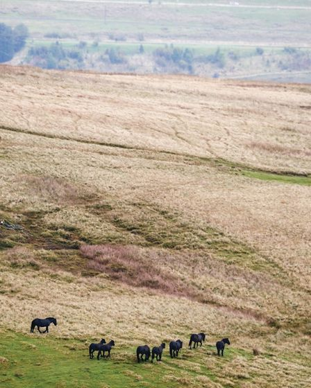 Fell ponies have been listed as endangered by the Rare Breeds Survival Trust