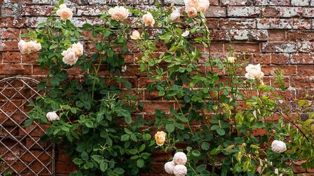 The highly-fragrant Wollerton Hall rose adorns the ancient wall at the Summer House. Picture: SARAH