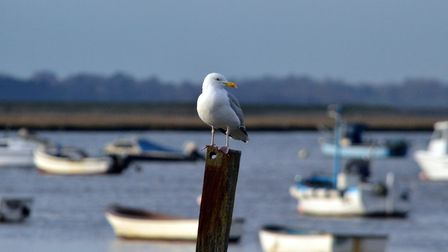 Our constant river and seaside companions - this gull is perched in the estuary of the River Deben a