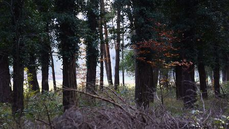 Thetford Forest. Picture: DENISE BRADLEY